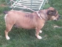 We have a 3yr old Female IOEBA Registered she is great