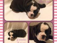Athena is a 4 week old seal and white OEB. She is a