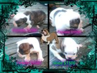Olde English Bulldog Puppies for sale, Now accepting