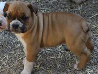 My olde english bulldogs had a litter in August.They