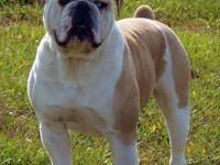 We have a beautiful litter of Olde English Bulldog
