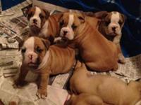 Registered Olde English Bulldog Puppies males and