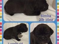 We have 2 litters of olde English bulldog young