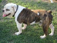 CKC signed up English Olde English Bulldogge puppies