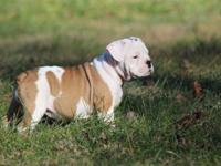 Olde English Bulldog puppies! They are 10 weeks old.