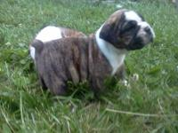 I have 1 female olde english bulldogge puppy for sale