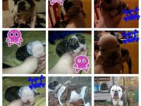 6 olde English bulldog young puppies for sale. NKC