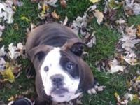 We have a female Olde English Bulldog puppy born on