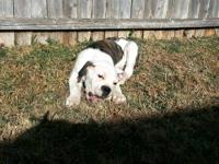 I have a 6 month Olde English Bulldogge puppy for