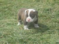 Olde English Bulldog Pups* We have 2 left they are 8