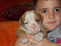 **Olde English Bulldog Pup, Male # 1 light fawn and