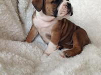 WE have 3 Olde English bulldogges pups offered. All