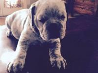 IOEBA registered puppie olde English bulldogge Puppies