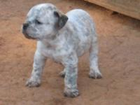 I have a male Olde English Bulldogge puppy that is