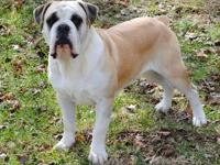 Tyr is a male, 2 years old registered National Bulldog
