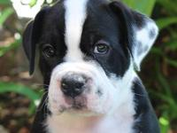 5 Olde English Bulldogge Puppies for sale. $1500.00 8