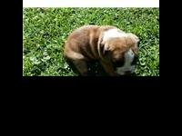 Olde English Bulldogge puppies for sale. Born May 26,