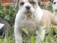 We have a blue fawn male available out of Glock and