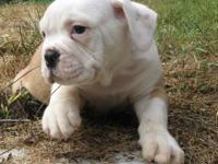 IOEBA Registered Olde English Bulldogge Boy, 10 weeks