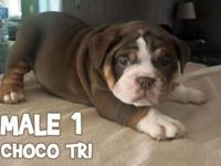 3 Chocolate Tri Males Available - All Pups Triple