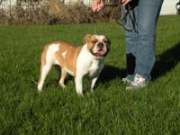 Olde English Bulldogge female will be 1 in Dec. She is