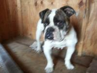 Female Olde English Bulldogge puppy for sale almost all