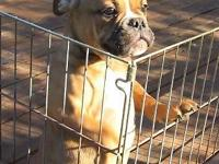 Beautiful Olde English Bulldogge Male - 4 mos old.