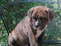 We have currently 1 Brindle male puppy available. He is