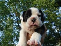 We raise healthy, happy Olde English Bulldogge puppies
