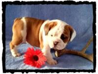 We have very attractive Olde English Bulldogge puppies,