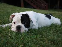 Olde English Bulldogge Puppies for sale. 1 male