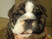 Olde English Bulldogge Puppies for sale. Born April 29,