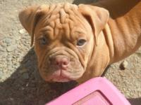 Price reduced and two puppies left. Olde English