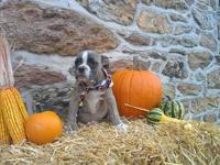 Olde English bulldogge puppies, males and females