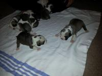 I have 6 Olde English bulldogge young puppies for sale