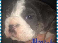 Olde English Bulldogge young puppies for sale. They
