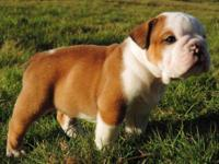 IOEBA registered Olde English Bulldogge young puppies