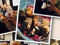 Olde English bulldogge puppies, 4 weeks old. now