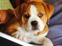 IOEBA registered olde English bulldogge puppies ready