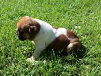 Generational Olde English Bulldogge pups for sale.