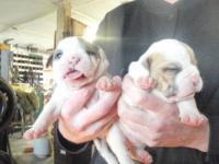family raised Olde English bulldogge puppies!! great