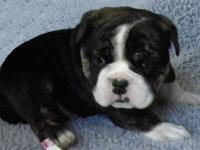 We have 3 beautiful Female Bulldogge puppies available.