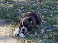 Beautiful, thick Bully Olde English Bulldogge CURRENT