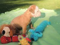 Taking deposits now for 5 week old Olde English