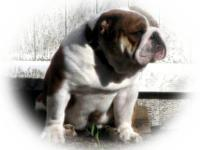 Beautiful Thick Bully olde english Bulldogge