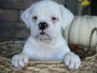 Bella is a sweet, adorable Olde English Bulldogge