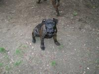 I have a male brindle 4mo old pup that is very