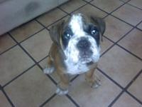 Olde English Bulldogge Puppy, purebred (no paper or for
