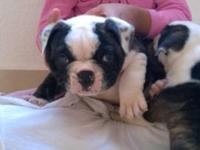 OLDE ENGLISH BULLDOGGE PUPPY!READY NOW!I.O.E.B.A
