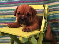 Handsome little male Olde English Bulldogge puppy, date